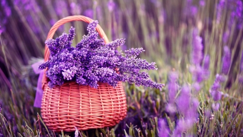 A Basket Full Of Purple Lavenders Flower HD Wallpaper