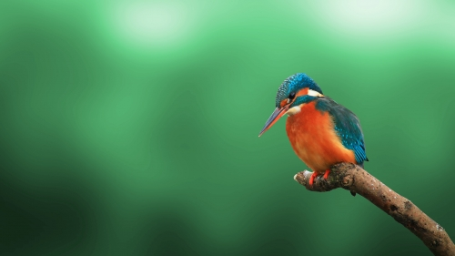 A Beautiful But Lonely Kingfisher
