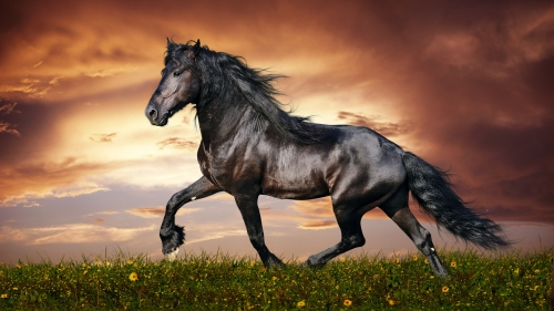 A Black Beauty   Animal HD Wallpaper