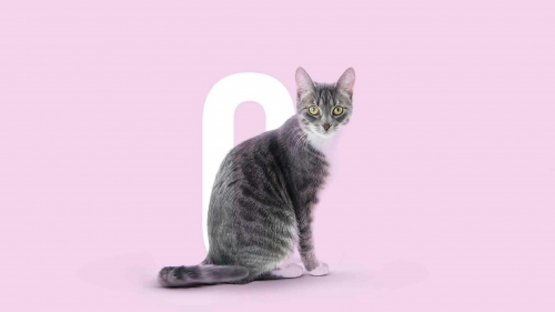 A Cat In Pink Background Animals QHD Wallpaper