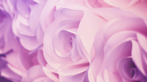 A Closeup Of Pink Roses Flowers QHD Wallpaper