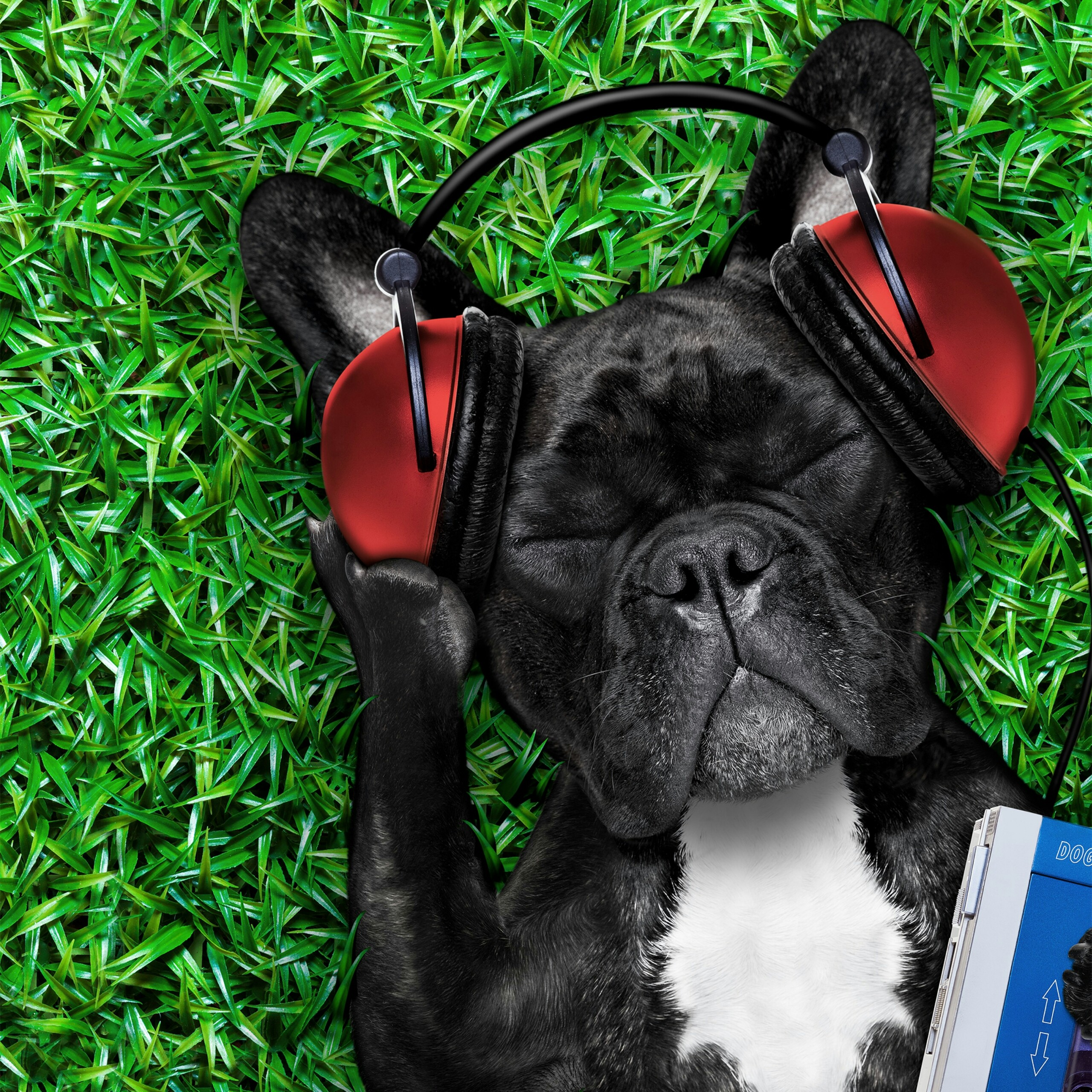 a cool dog listening to music animals qhd wallpaper