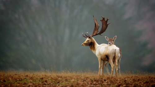 A Deer Family In Meadow Fog   Animal HD Wallpaper
