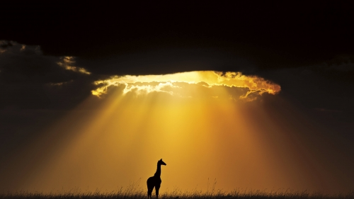 A Lone Giraffe   Animal HD Wallpaper
