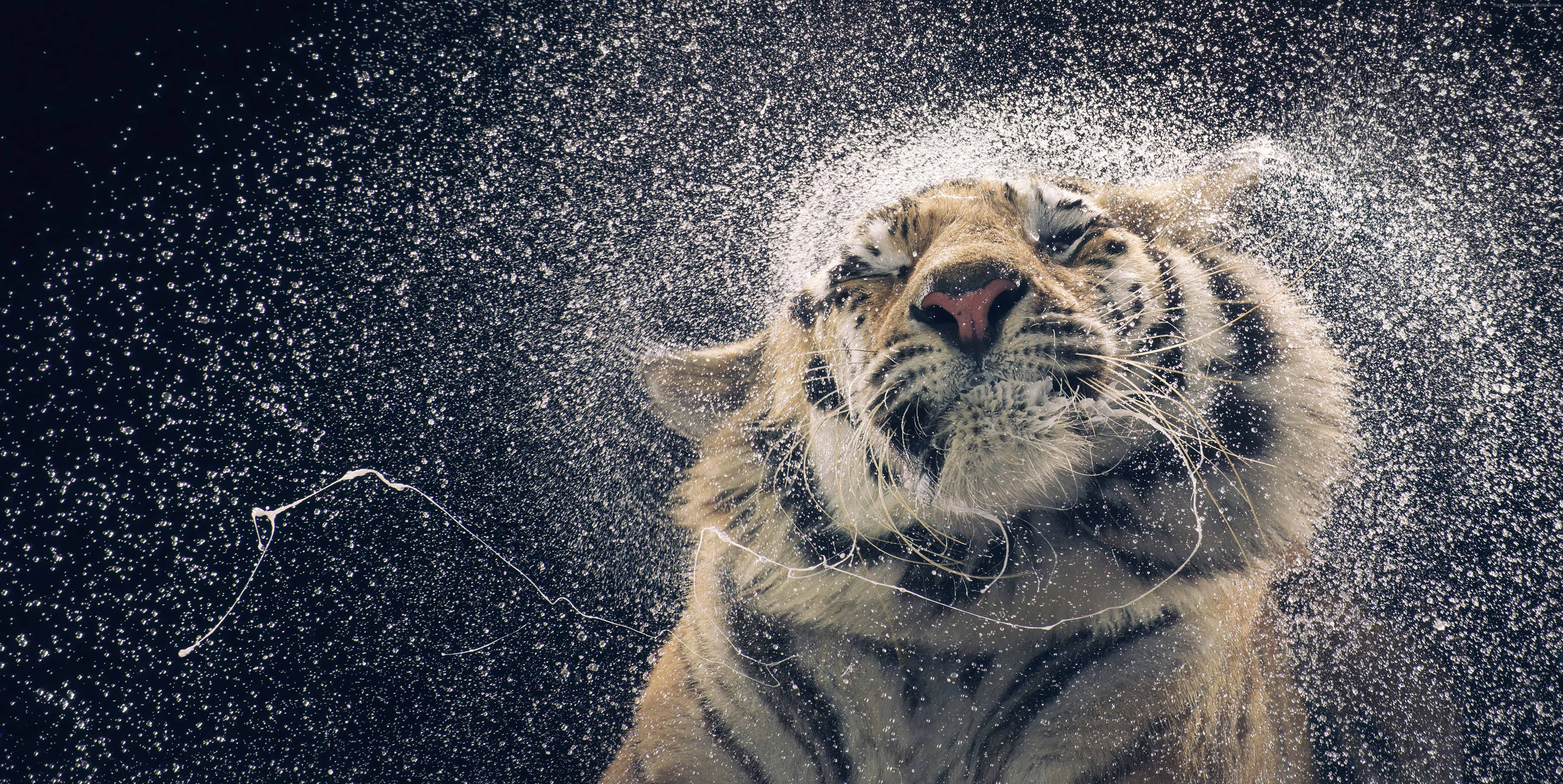 a tiger coming out of water animal hd wallpaper 5347x2683