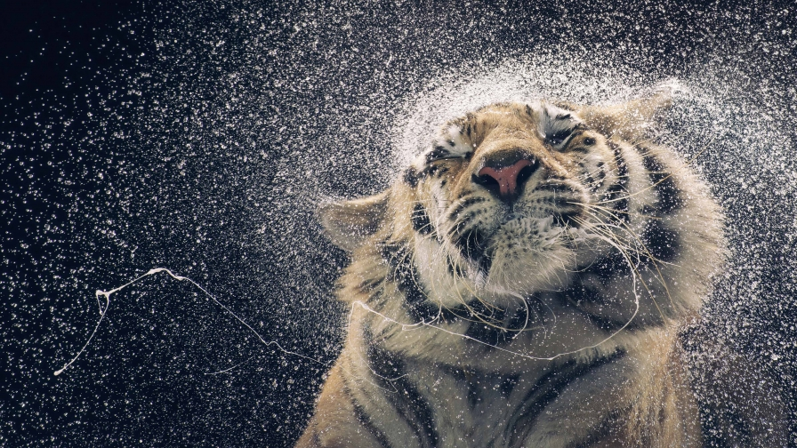 A Tiger Coming Out Of Water   Animal HD Wallpaper