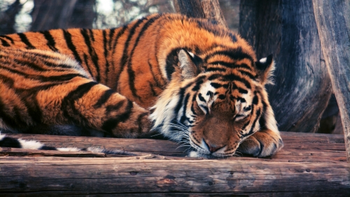 A Tiger Rests   Animal HD Wallpaper