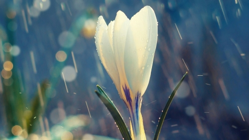 A White Flower In The Rain Flowers QHD Wallpaper