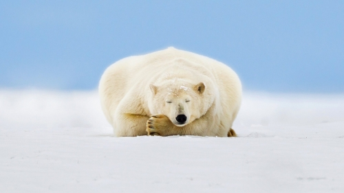 Alaskan Sleeping Bear Animal HD Wallpaper