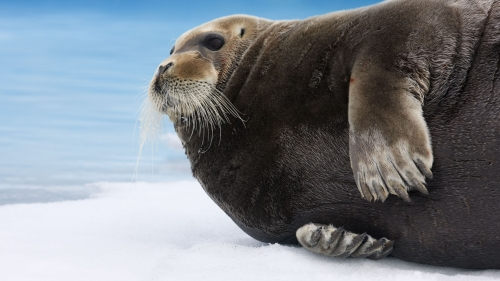 Bearded Seal Resting On The Ice Animal HD Wallpaper
