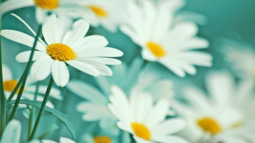 Beautiful Flowers In White Flower HD Wallpaper