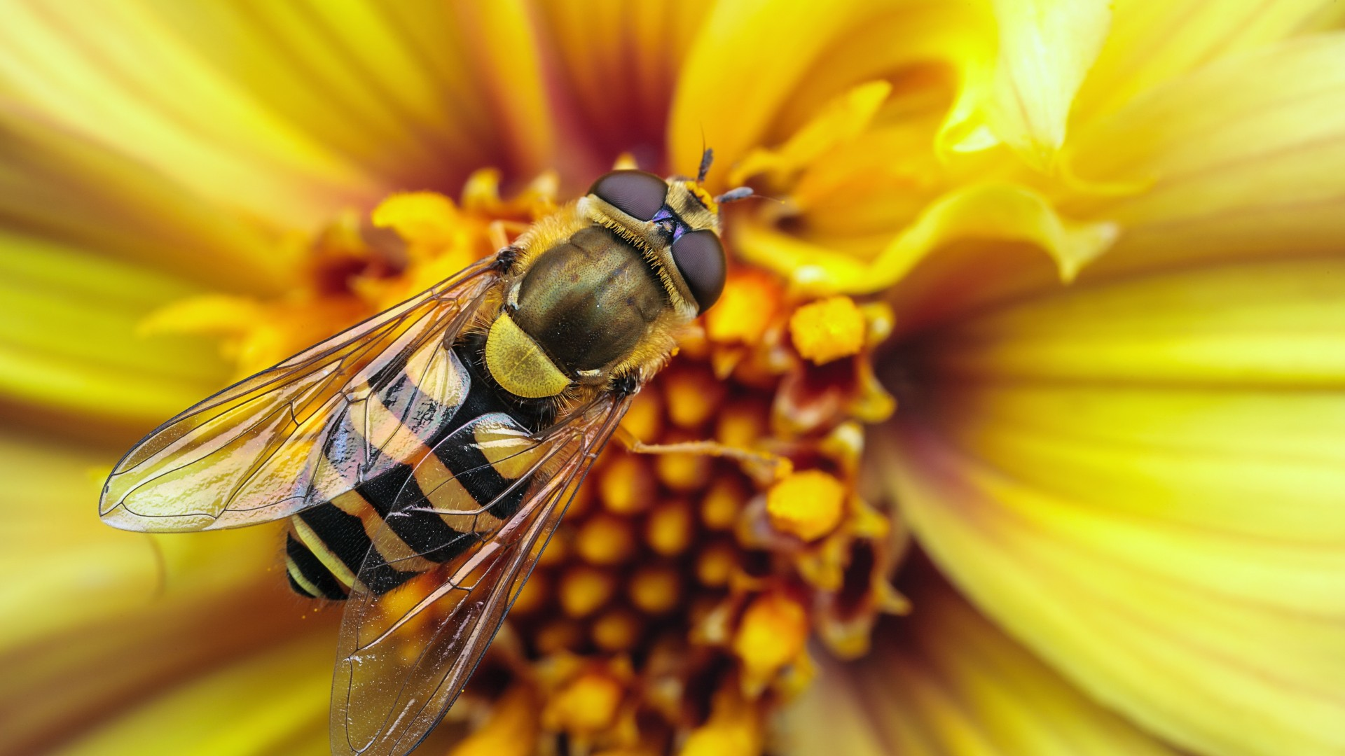 Bee On A Yellow Flower Photography HD Wallpaper 1920x1080