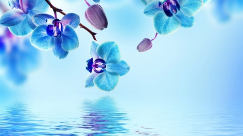 Blue Orchid Flowers Flower HD Wallpaper