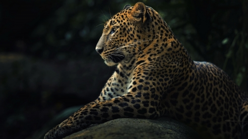 Grace Of A Leopard   Animal HD Wallpaper