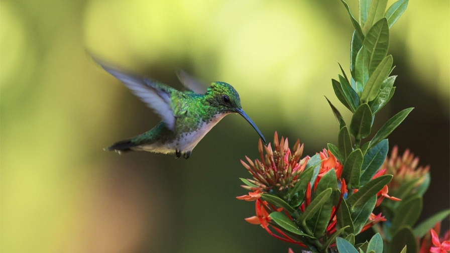 Hummingbird Is Hungry HD Wallpaper