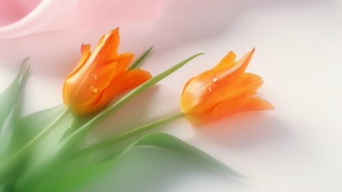 Orange Tulips Forever Flower HD Wallpaper