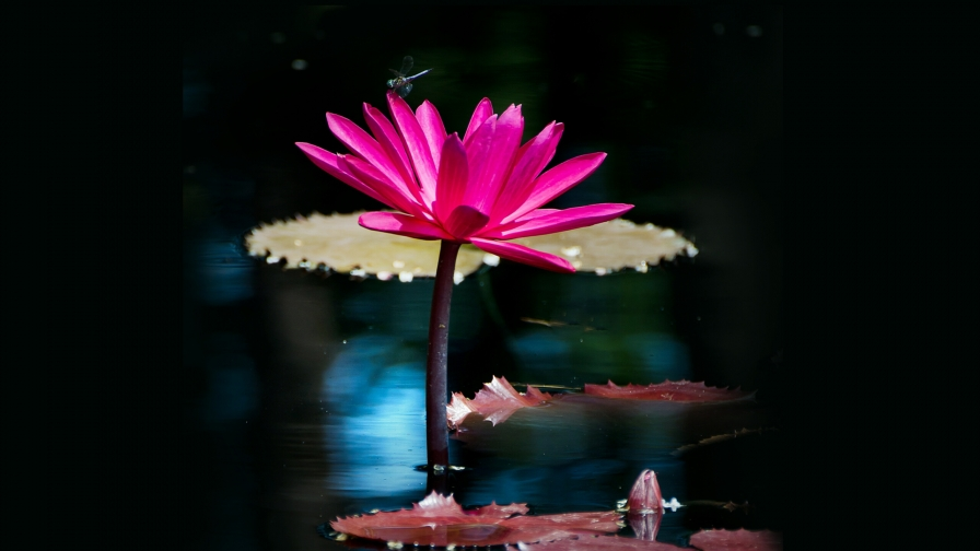 Pink Flower In A Pond Flowers QHD Wallpaper
