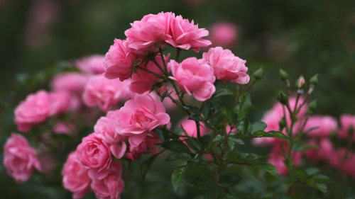 Pink Roses Amongst Greens Flower HD Wallpaper