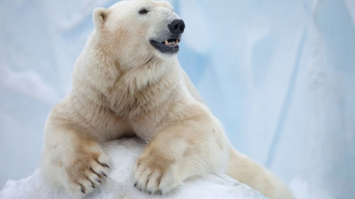 Polar Bear In The Snow   Animal HD Wallpaper