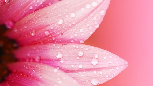 Raindrops On Pink Flower Flower HD Wallpaper
