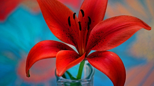 Red Lily Closeup Flower HD Wallpaper