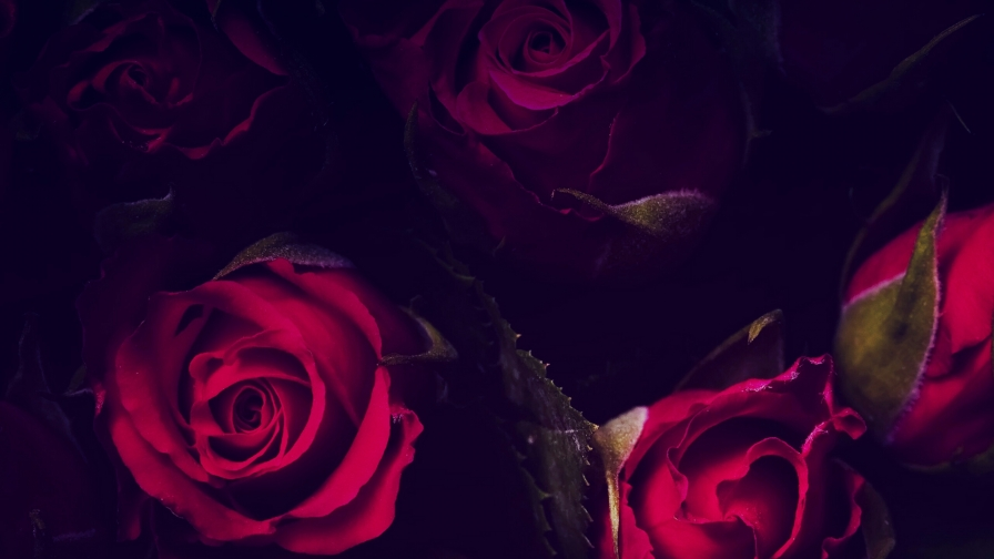 Red Roses In The Dark Flowers QHD Wallpaper