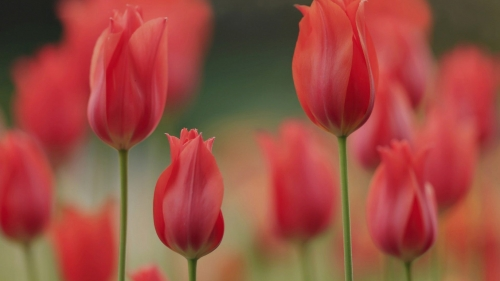 Red Tulips In Harmony Flower HD Wallpaper