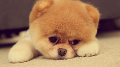 Sad Puppy Animal HD Wallpaper