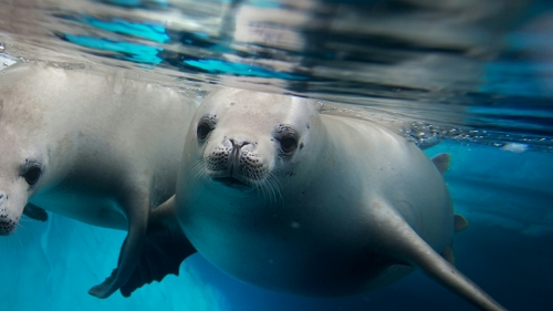 Seals Under The Blue Water Animals QHD Wallpaper