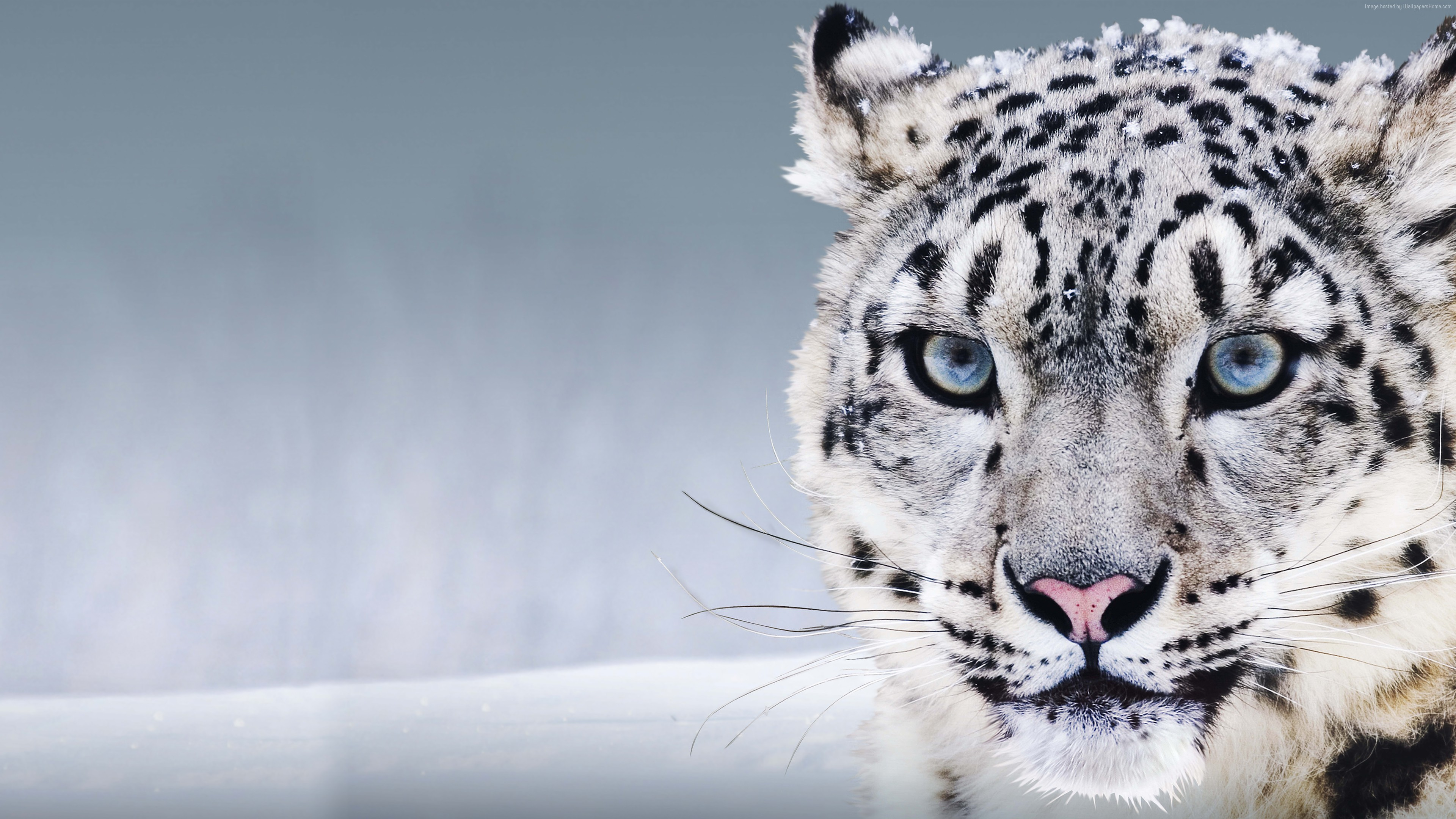 Snow Leopard With Blue Eyes Animal HD Wallpaper 3840x2160