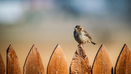 Sparrow On The Fence HD Wallpaper