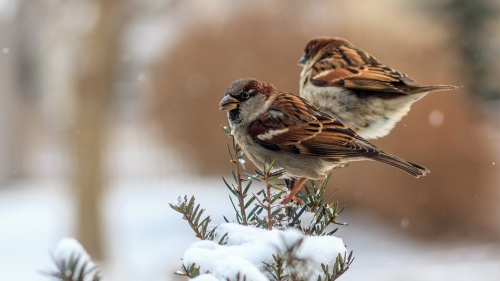 Sparrows Of The Winter HD Wallpaper