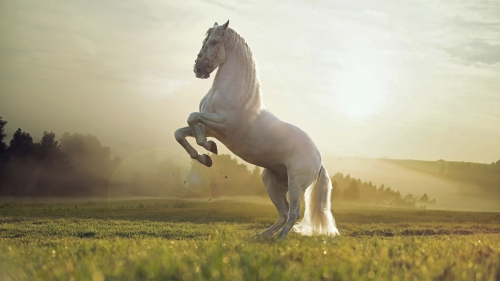 The Dance Of A White Horse   Animal HD Wallpaper