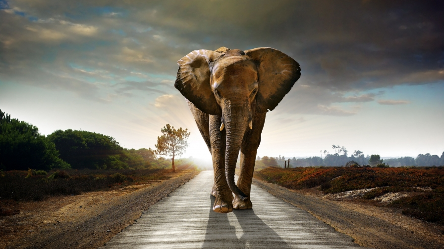 There Is An Elephant On The Road   Animal HD Wallpaper