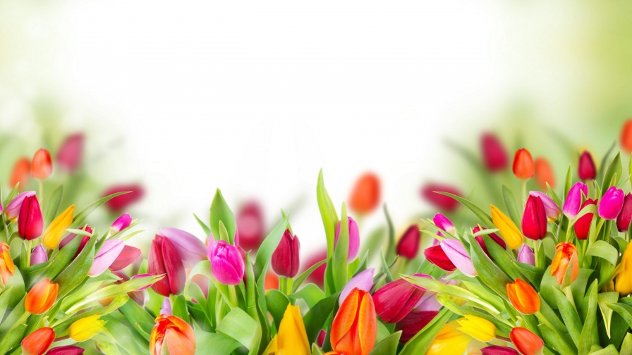 Tulips Are Beautiful Flower HD Wallpaper