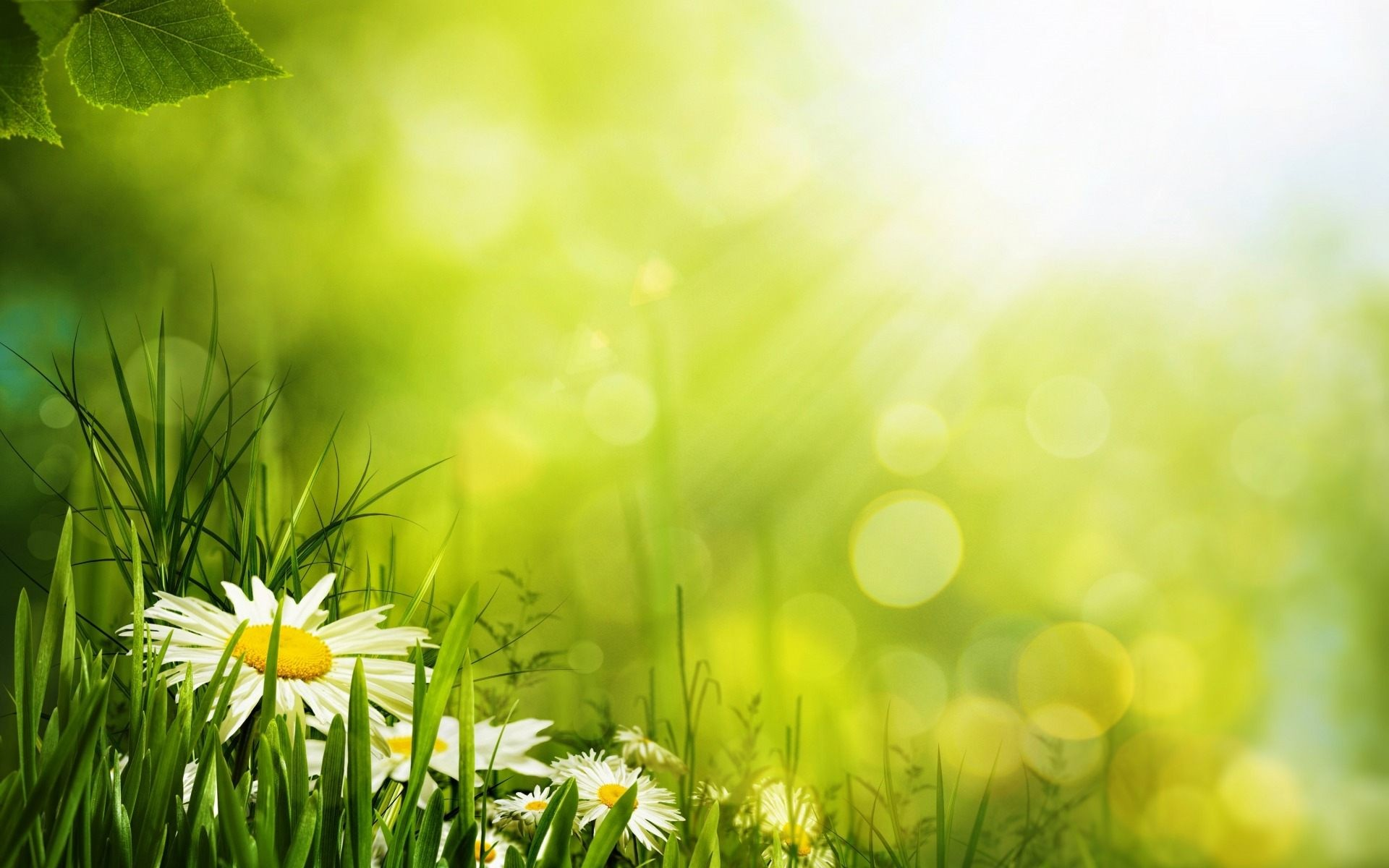 White Daisies Surrounded By Green Flower HD Wallpaper