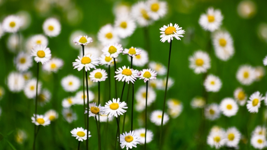 white flowers all smiles flower hd wallpaper wallpaper vactual