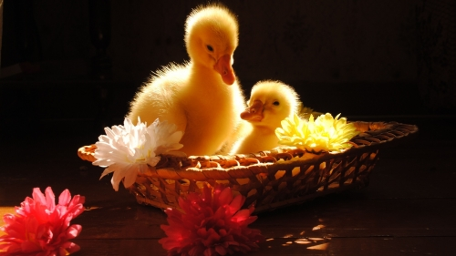 Yellow Ducklings In A Flowers Basket   Animal HD Wallpaper