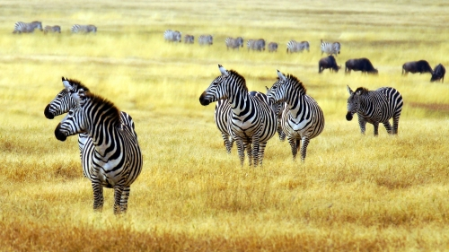 Zebras In The Wild   Animal HD Wallpaper